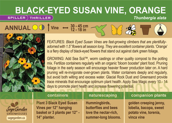 Black-Eyed Susan Vine, Orange (Live Plant)