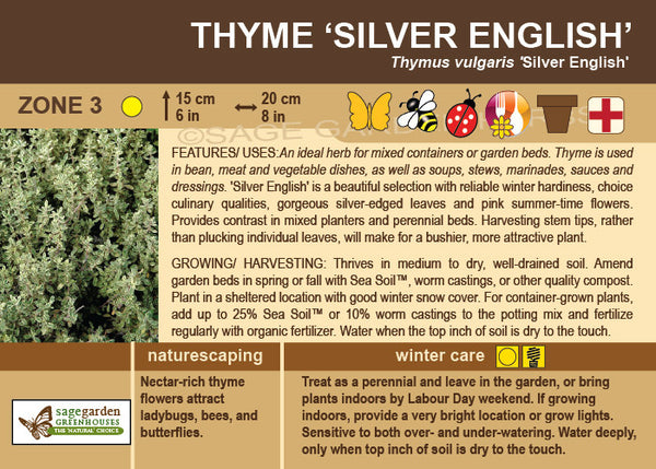 Thyme 'Silver English' (Live Plant)