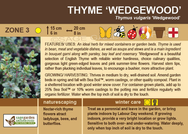 Thyme 'Wedgewood' (Live Plant)