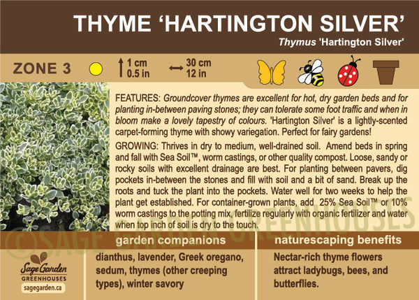 Thyme 'Hartington Silver' (Live Plant)
