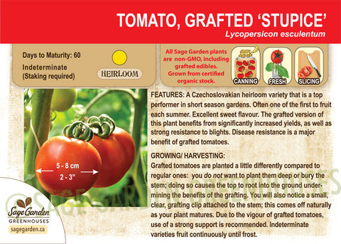 Grafted Stupice Tomato at Sage Garden