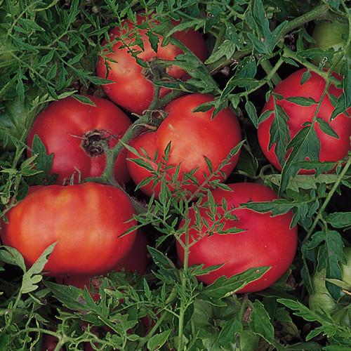 Live Plant - Tomato, Silvery Fir Tree