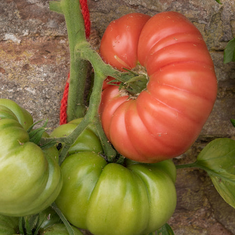Live Plant - Tomato, Grafted Mortgage Lifter