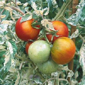 Live Plant - Tomato, Variegated Splash of Cream
