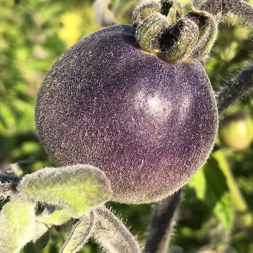 Live Plant - Tomato, Wooly Blue Jay