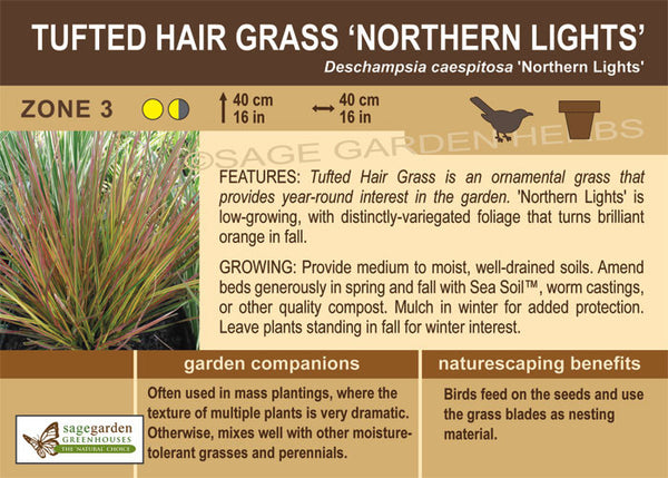 Tufted Hair Grass 'Northern Lights' (Live Plant)