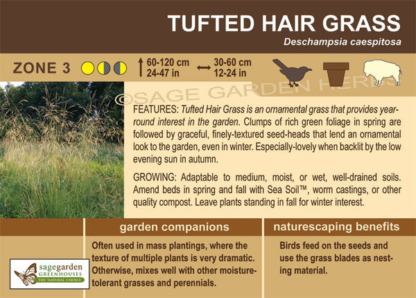 Tufted Hair Grass (Live Plant)