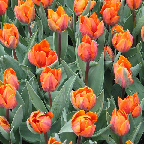 Bulbs -Tulip 'Prinses Irene' OG