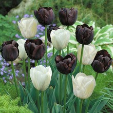 Bulbs -Tulip 'Black and White Mix' OG