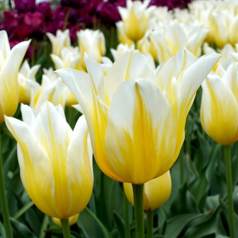 Bulbs -Tulip 'Budlight'