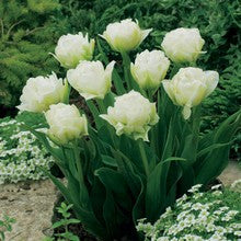 Bulbs -Tulip 'Global Desire' OG