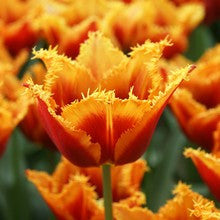 Bulbs -Tulip 'Gusto' (Fringed) OG