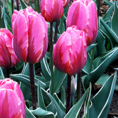 Bulbs -Tulip 'Pretty Princess'