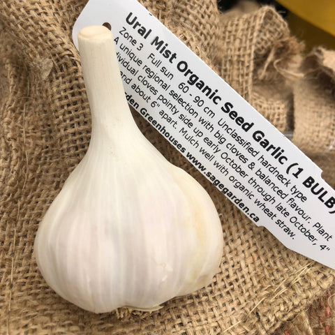 Bulbs - Garlic, Ural Mist  OG
