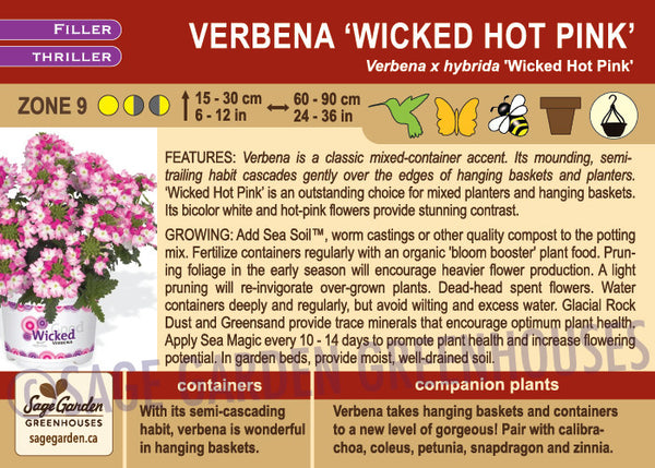 Verbena 'Wicked Hot Pink' (Live Plant)