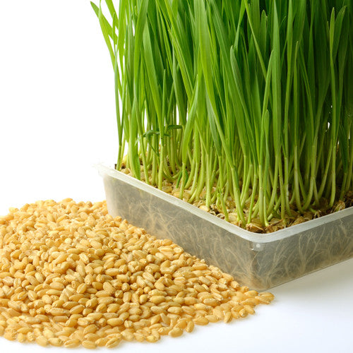 Certified Organic Wheatgrass