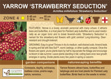 Yarrow 'Strawberry Seduction' (Live Plant)