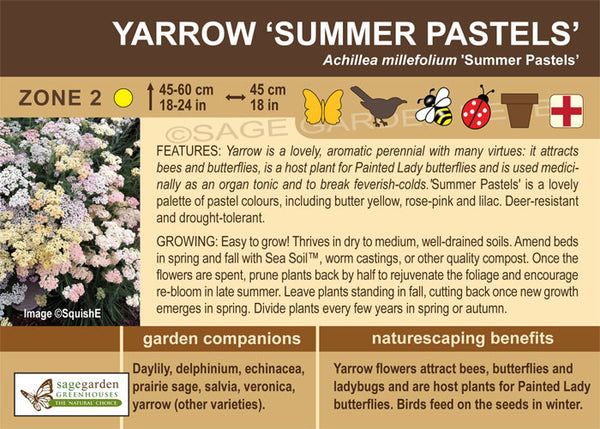 Yarrow 'Summer Pastels' (Live Plant)