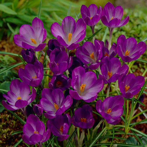 Bulbs - Crocus 'Ruby Giant'