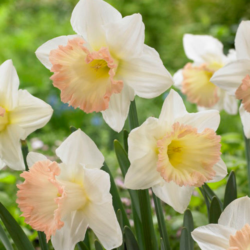 Bulbs - Daffodil 'British Gamble'