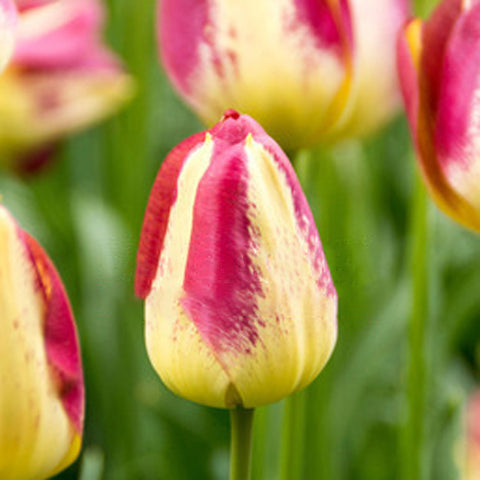 Bulbs -Tulip 'Boston'