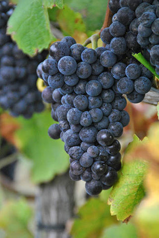 Woodchurch Pinot Noir Grapes