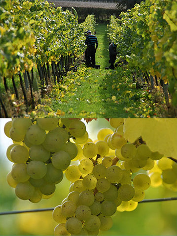 Harvest - 2015 Chardonnay grapes
