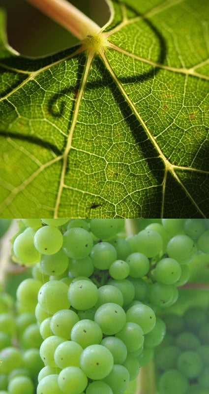 Leaf and grapes