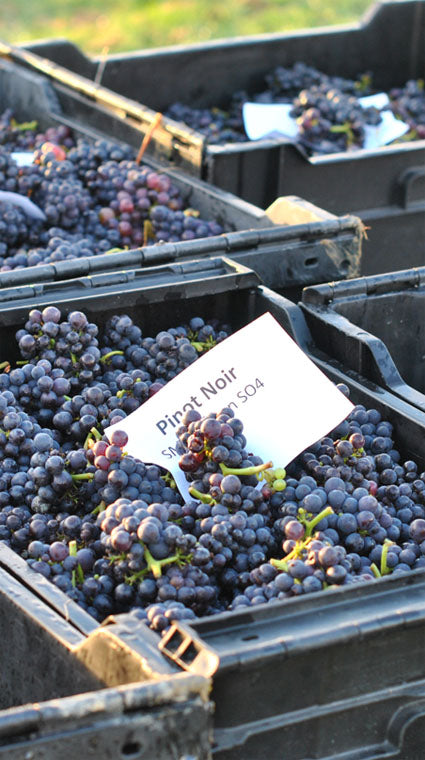 Pinor Noir Harvest 2012 - Woodchurch