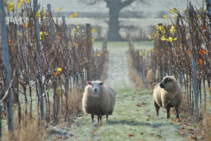 Sheep in the vineyard - Woodchurch
