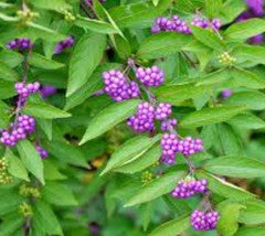 Beautyberry ( calicarpa )