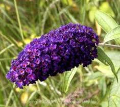 Butterfly Bush ( buddleia )