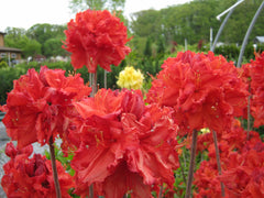 Kings Red Deciduous Azalea