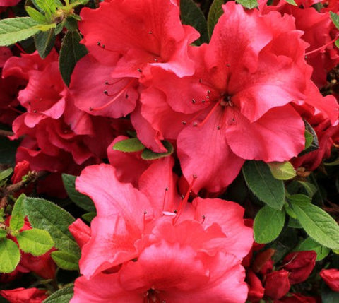 Red Bloom-A-Thon® Reblooming Azalea