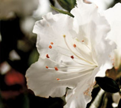 Autumn Angel™ Encore® Azalea