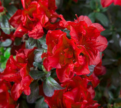 Autumn Fire™ Encore® Azalea