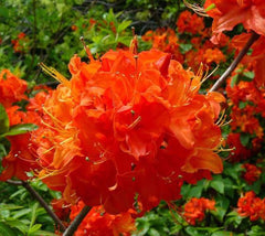 Mandarin Lights Orange Deciduous Azalea