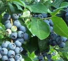 Premier Blueberry  Vaccinium ashei