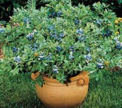 Top Hat Dwarf Blueberry Vaccinium x 'Top Hat'