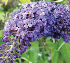 Adonis Blue Dwarf English Butterfly Bush