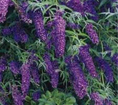 BUZZ Midnight Dwarf Butterfly Bush