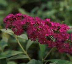 royal red butterfly bush ( buddleia ) plants