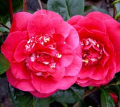 April Tryst Camellia Camellia japonica 'april tryst'
