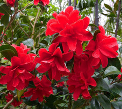 Freedom Bell Red Hybrid Camellia
