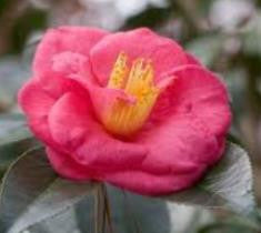 Lady Clare Camellia Japonica camellia japonica 'lady clare' plants