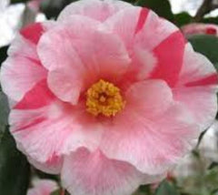 Lady Vansittart Camellia camellia japonica lady vansittart