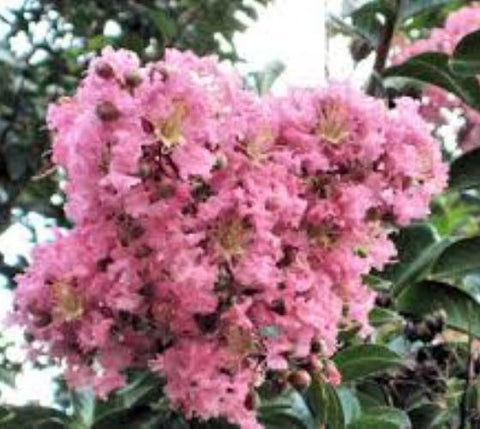 Sioux Pink Crape Myrtle Tree
