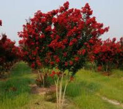 Carolina Beauty Red Crape Myrtle lagerstroemia indica carolina beauty