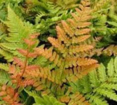Autumn Fern ( Dryopteris erythrosora )