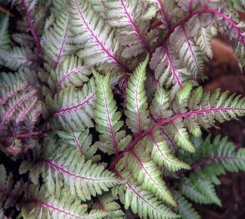 Regal Red Japanese Painted Fern